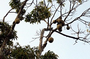 vanilla_tour_durian_fruits2
